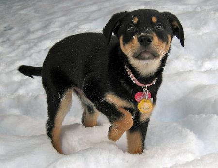 Pink Wallpaper With Cute Puppy Golden Retriever Cute Dogs German Ghepherd Mixed With Rottweiler