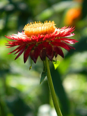 Xerochrysum bracteatum Strawflower at the Toronto Botanical Garden by garden muses-not another Toronto gardening blog