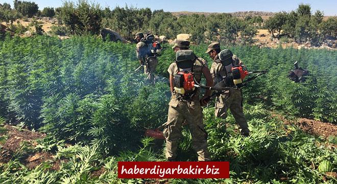 Diyarbakır Hazro'da 613 bin kök Hint keneviri ele geçirildi