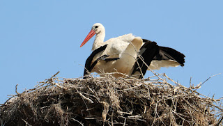 Young stork in the nest, with four others