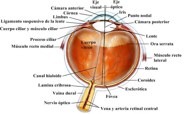 Ojo, humano: sección transversal horizontal del ojo humano
