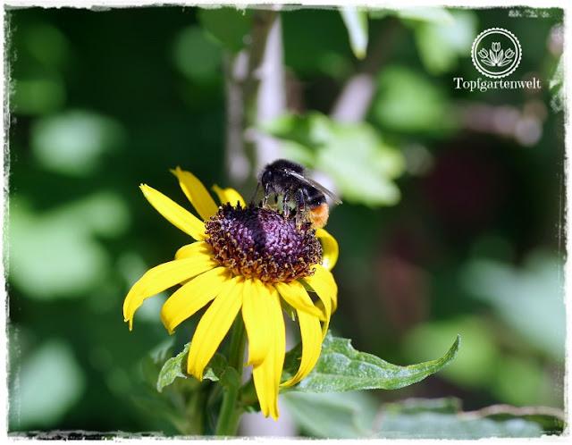 Gartenblog Topfgartenwelt Buchrezension: Knallbunte Beete, Rudbeckia mit Hummel