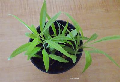 Lycium chinense seedlings