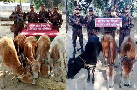 Eight-Indian-cattle-seized-at-the-border-in-Sunamganj