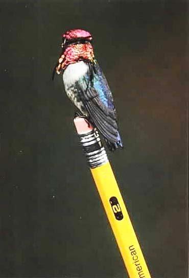 πουλί μέλισσα Bee Hummingbird