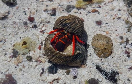 Laporan Penelitian Kepiting Cangkang Pecah Lebih Gigih Merebut Rumah Baru