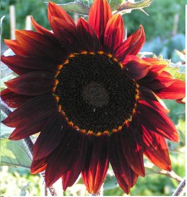 Free Desktop Background Wallpapers Very Beautiful Red Colour Sunflower Wallpapers