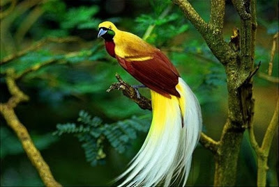 bird of paradise drawing