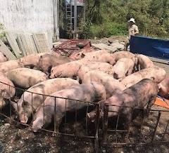 Giá heo hơi hôm nay 8/3 : Giá lợn hơi mới nhất ở miền Bắc ổn định