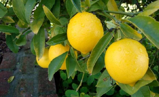 tanaman hias buah jeruk lemon import