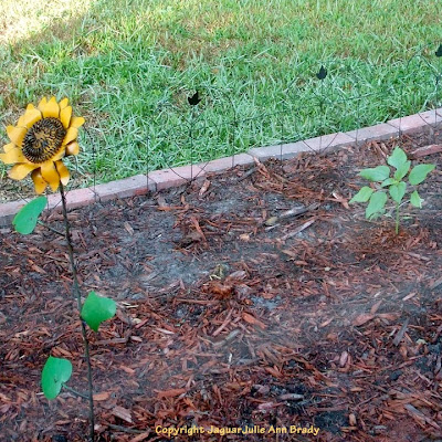 The Last Sunflower of Summer August 2013