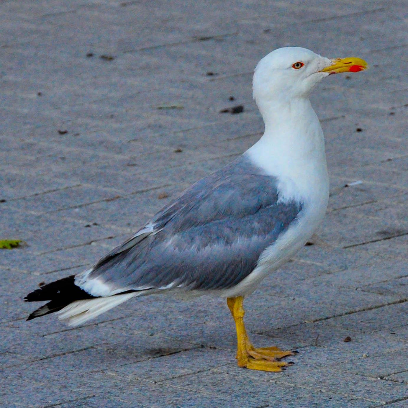 Seagull, Varna, Bulgaria