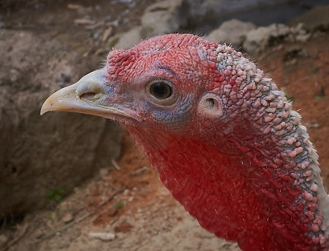turkey, ugly, mean, close up, photography