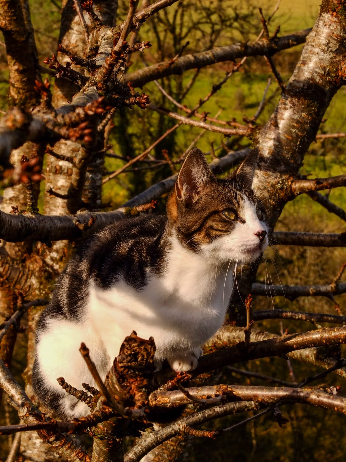 A white and brindle cat Sassy sitting in a bare cherry tree.