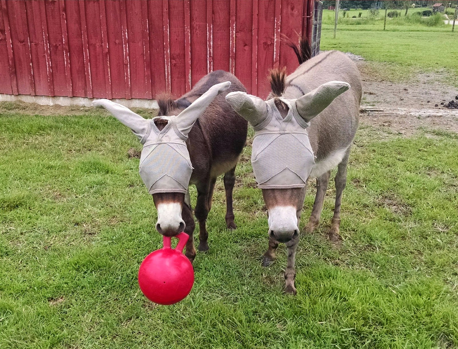 two mini donkeys holding a ball