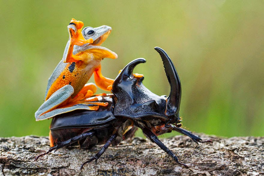 cowboy frog riding beetle animal photography