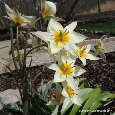 Picture of a White and yellow miniature tulips in Northeast ohio