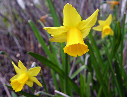 3 Mini Daffodils with Faded and Munched Edges