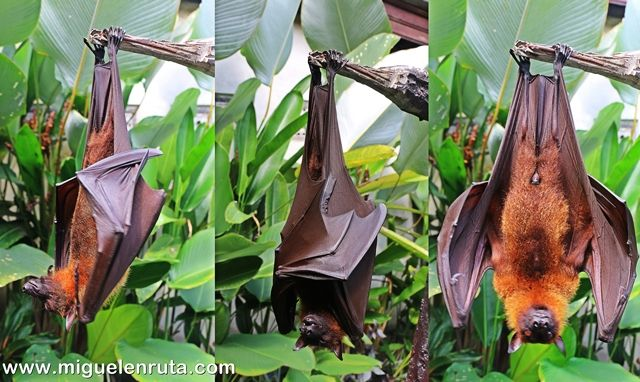 Zorro-volador-Bali