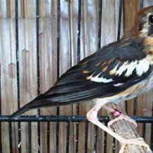Cara Perawatan Burung Anis Kembang Trotolan Hingga Dewasa