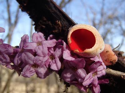krokusy 2017, grzyby 2017, grzyby wiosenne, grzyby w kwietniu, grzyby na Orawie, Sarcoscypha austriaca czarka austriacka