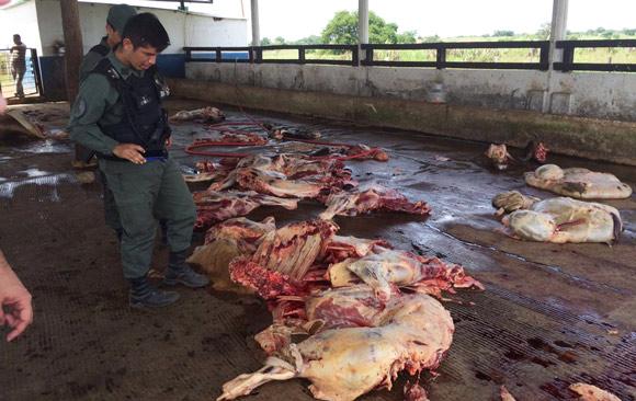 encuentran-fosa-con-restos-de-vacas-sacrificadas-perija