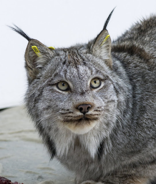 First sequencing of Canada lynx genome