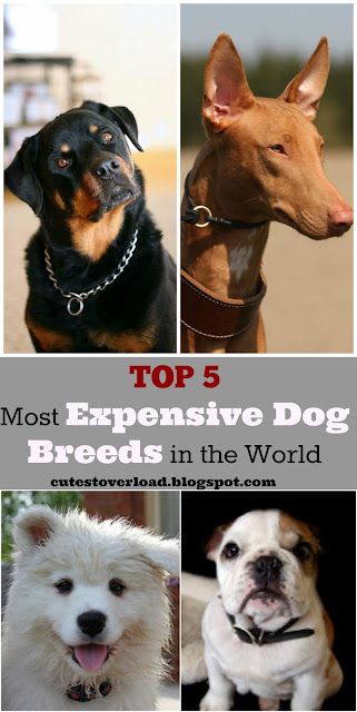 Top 5 Most Expensive Dog Breeds in the World