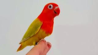 Lovebird Biola Fallow