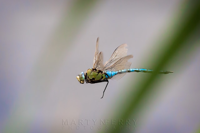 Wildlife image of an emperor dragonfly in flight at Ouse Fen Nature Reserve