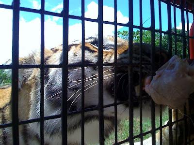 Bengal tiger eating chicken flesh at Zoobic Safari Adventure
