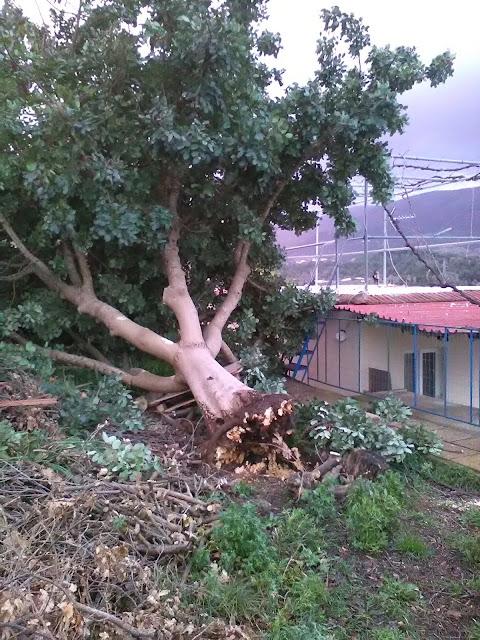 Ηγουμενίτσα: Οι δυνατές ριπές του ανέμου ξερίζωσαν ολόκληρο δέντρο (+ΦΩΤΟ)