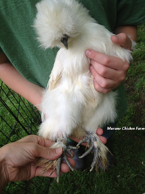 Pet chicken, clipped nails
