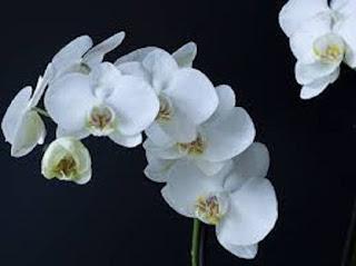 Moon Orchid Phalaenopsis Amabilis bunga anggrek - berbagaireviews.com