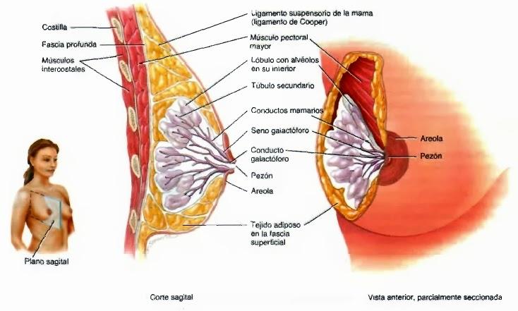 Mama - Regiones del tórax