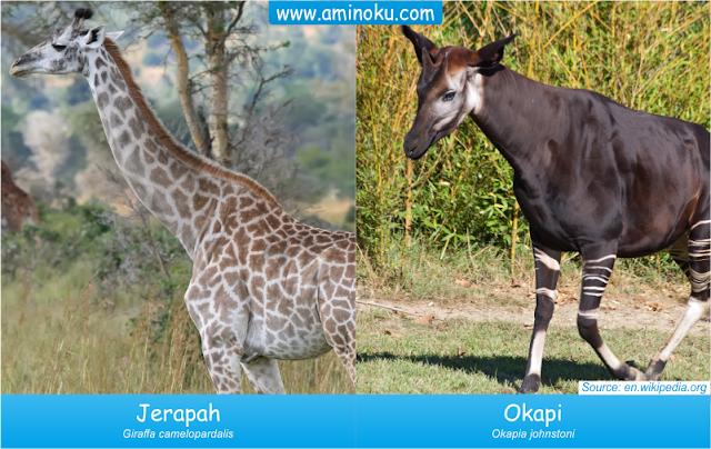 Perbedaan jerapah dan okapi