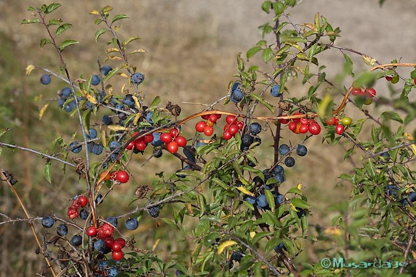plante grimpante a baies rouges