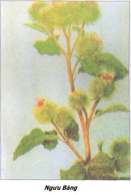 Hình ảnh Ngưu Bàng - Arctium lappa - Nguyên liệu làm thuốc Chữa Cảm Sốt