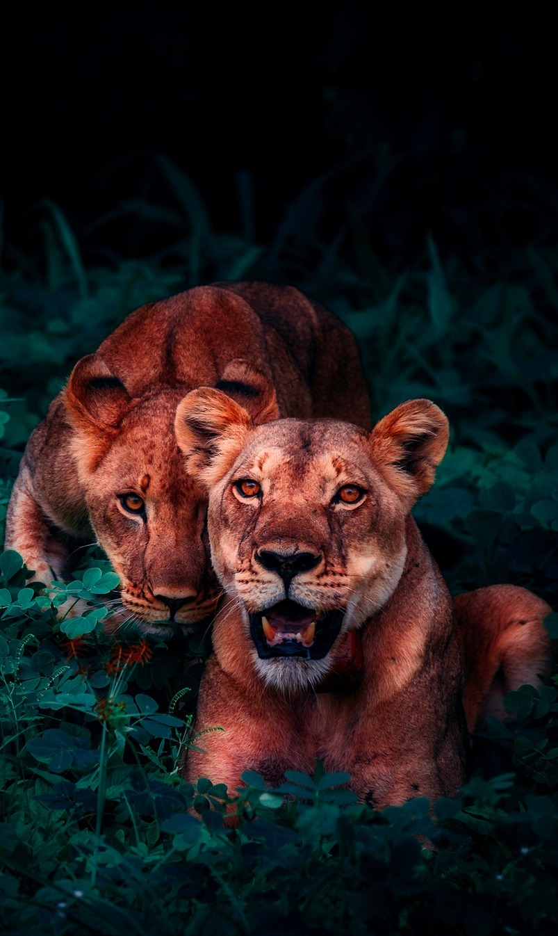 An amazing photo of two young lions.