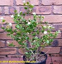 Arabian Jasmine Plant in Pot