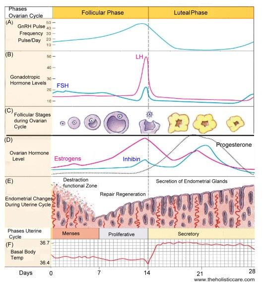 Menstrual Cycle Pregnant 94