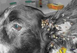House Fly Spray Walmart Stray Dog Infested With Ticks
