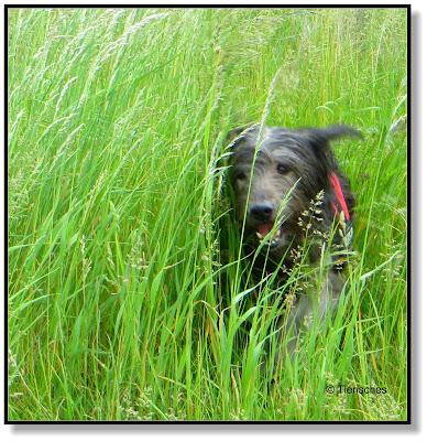 wenn Hund durch das hohe Gras flitzt