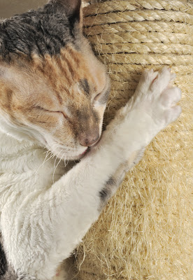 A white-and-calico cat scratching a sisal post with its eyes shut