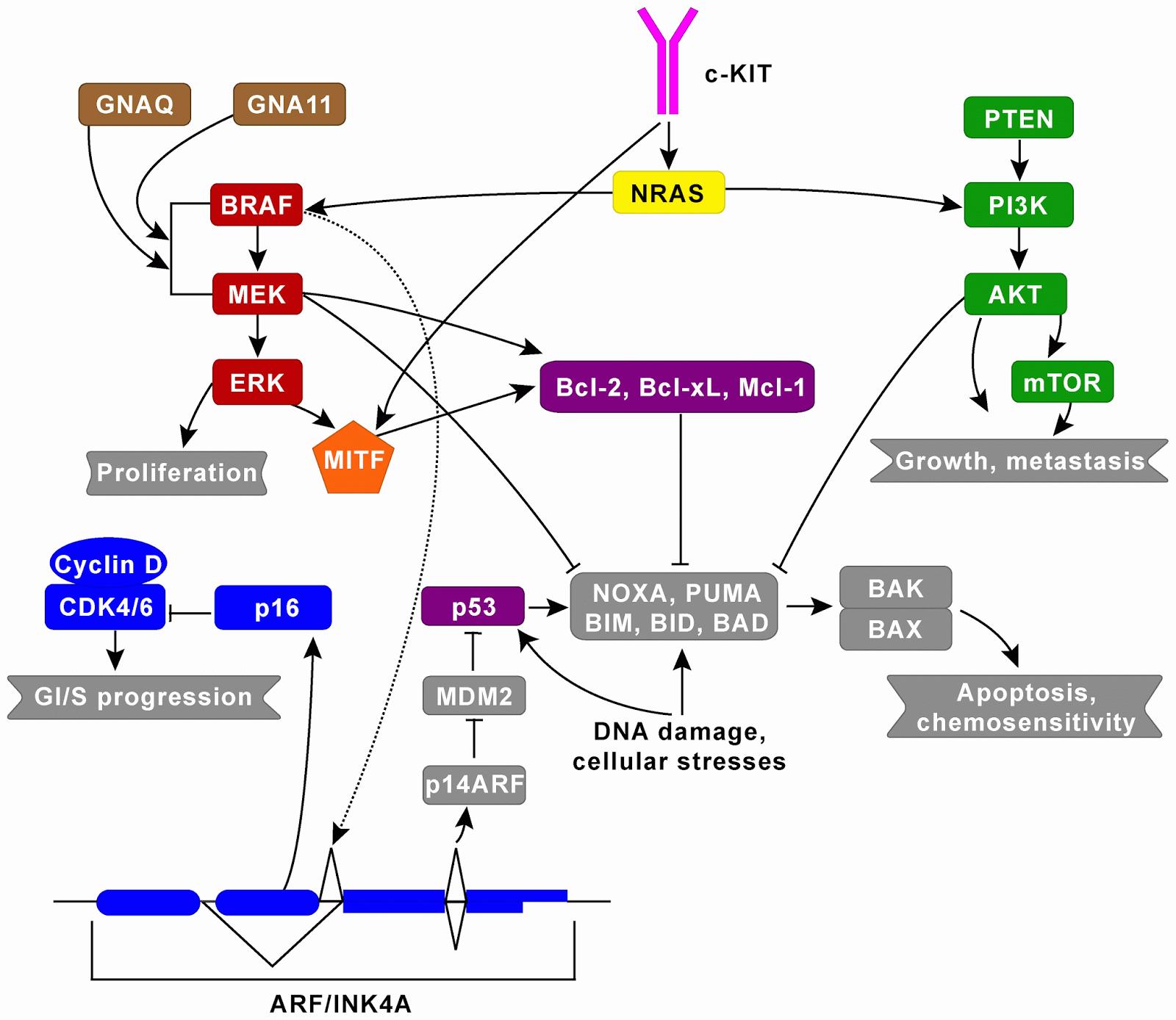 melanoma molecular pathway png