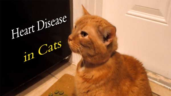 heart disease in cats treatment