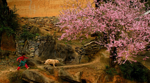 Peach, plum flowers blooming on the Plateau Ha Giang 1