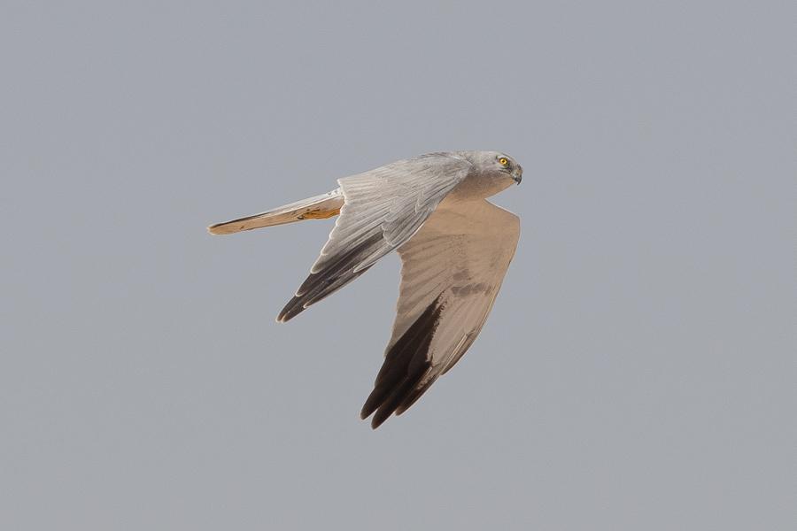 Pallid Harrier - male