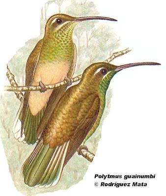 Picaflor de antifaz Polytmus guainumbi