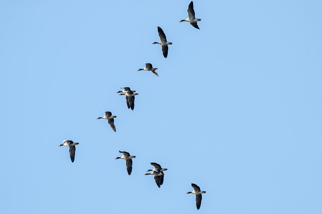 Winter Arrivals - Greylag Geese